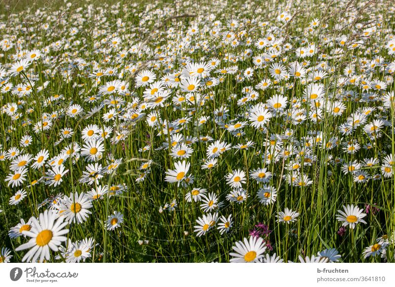 A sea of daisies, meadow with daisies Marguerite daisy meadow Meadow flowers Nature Plant bleed Summer Exterior shot spring Flower meadow Grass Blossoming