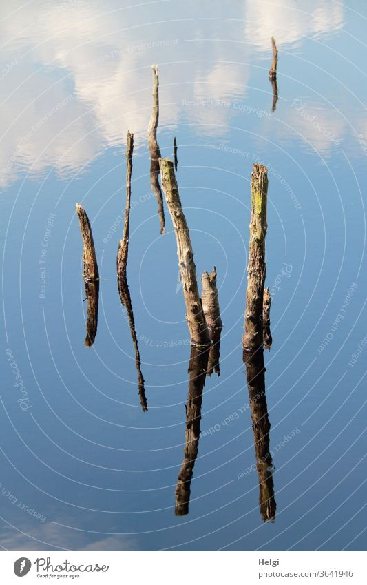 bizarre formations - remains of dead trees protrude from a moor lake and are reflected in the blue sky with clouds   symmetry Bog Moor lake branches Bizarre