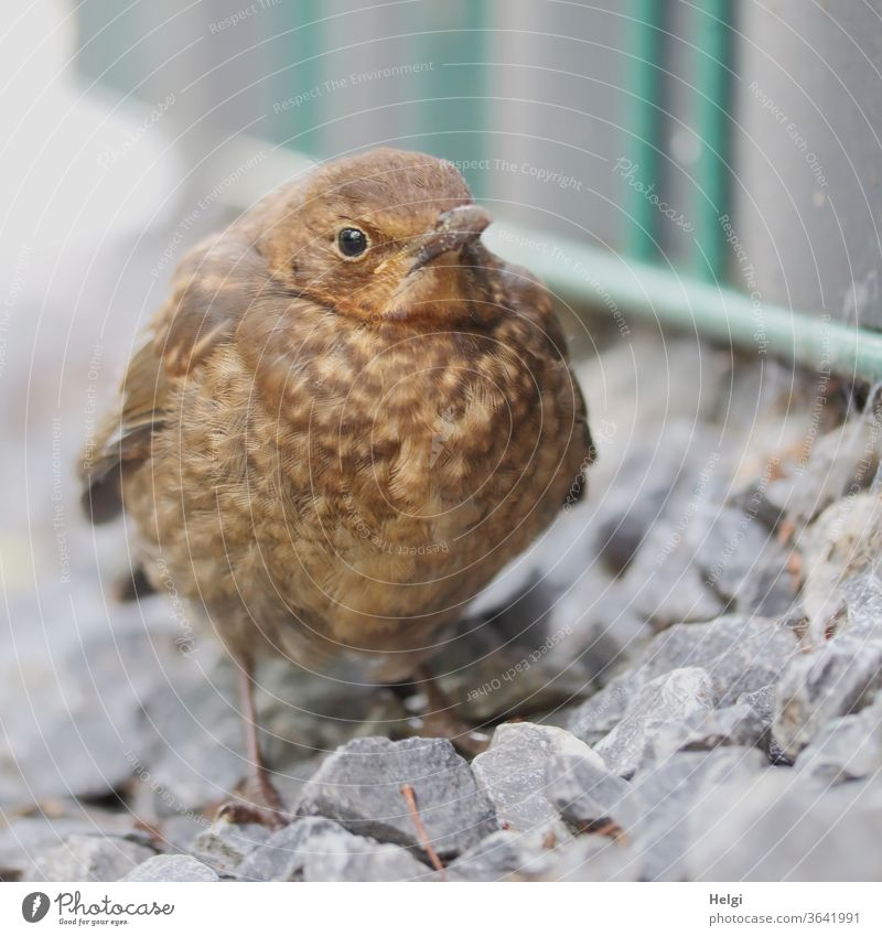 HUNGER - young thrush stands at the wayside and waits for food Throstle Blackbird fledglings birds Small youthful Wait hunger hungry plumage Fat puffed up