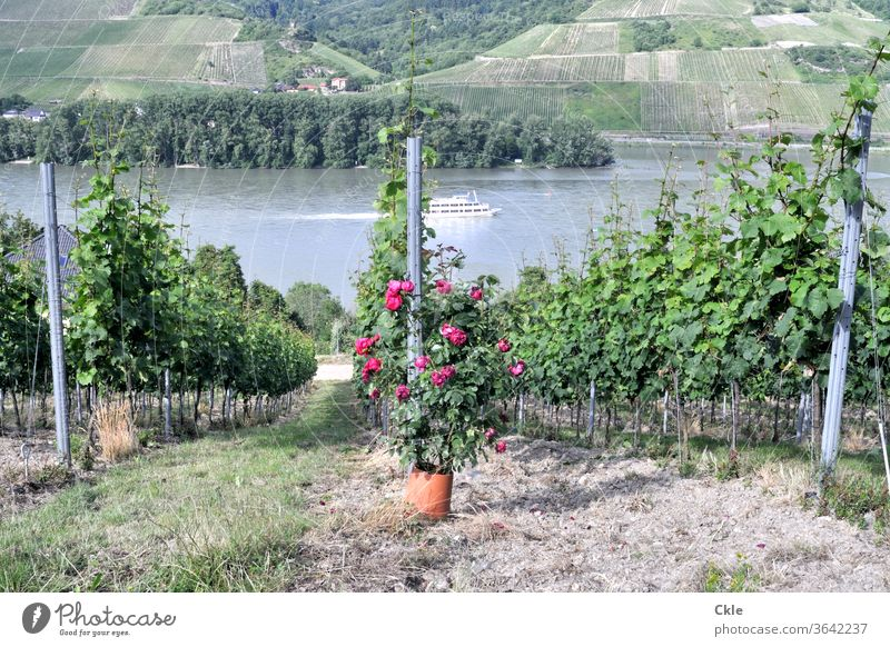 Plant protection products Moselle Vineyard steep slope Wine growing ship Boating trip Vantage point Vine fields Riesling vines Trip parcel cultivation roses