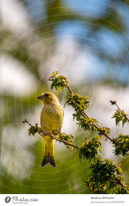 Greenfinch on a branch birds Green finch Branch tree Sky Nature Animal Twig Exterior shot Colour photo Sit Plant Wild animal Crouch Branchage Looking Blue green