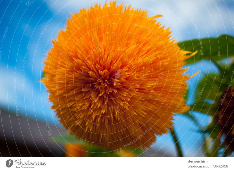 """A Large Flower - Flower. A fence-eye """" Helianthus """", is a plant species from the genus of sunflowers, in the family of composite plants ( Asteraceae )."""