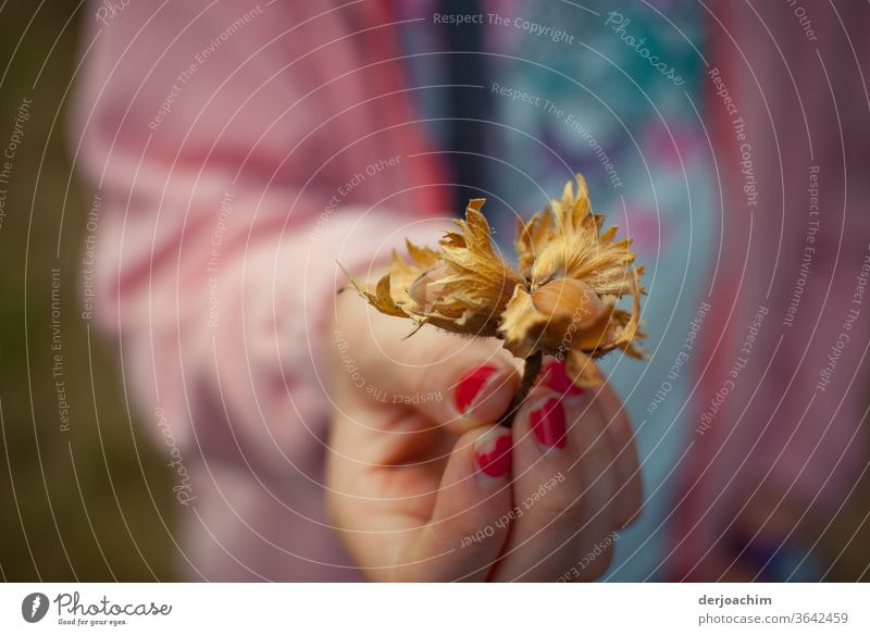 Girl's hand with red fingernails shows a found hazelnut with outer shell. Hazelnut Nature Colour photo Brown Autumn Nut Food Close-up Nutrition Organic produce