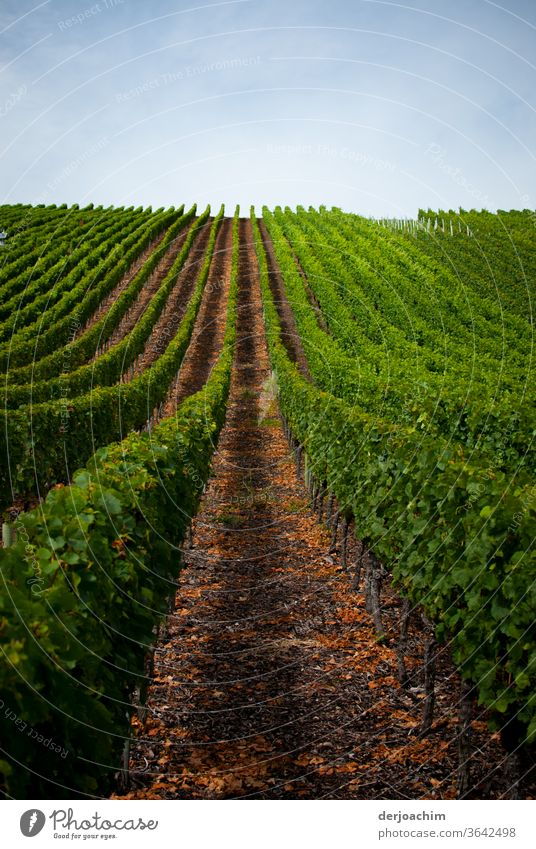 Vineyard.  One vine stick after the other . With a wide walkway . Right and left are the green vines. Wine growing Exterior shot Bunch of grapes Plant