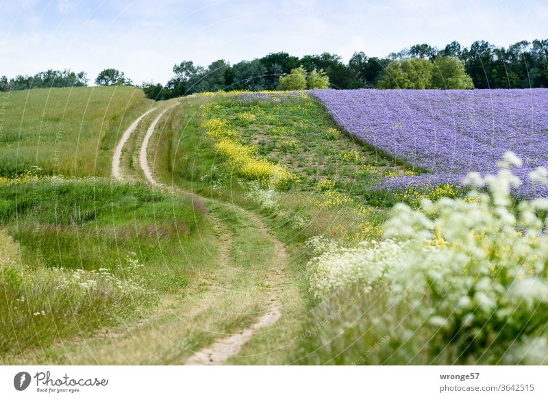 The field path winds in an S-shape along a purple flowering Phacelia field to the two lighthouses at Cape Arkona Nature Landscape fields Margin of a field