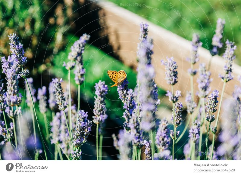 Beautiful butterfly on lavender plant in summer time aromatherapy aromatic background beautiful beauty bloom blooming blossom branch bush closeup color colorful