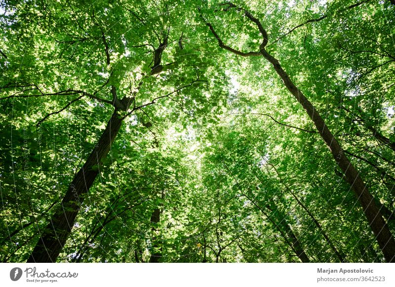 Lush green tree tops in the forest background beautiful beech big bright color day daylight eco ecology environment foliage fresh greenery inspirational jungle