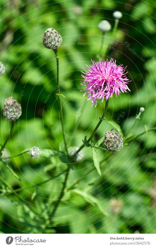 Scabious Flake Flower flowers Plant Blossoming bleed Nature Summer Colour photo Exterior shot Garden Deserted Shallow depth of field green purple already Violet