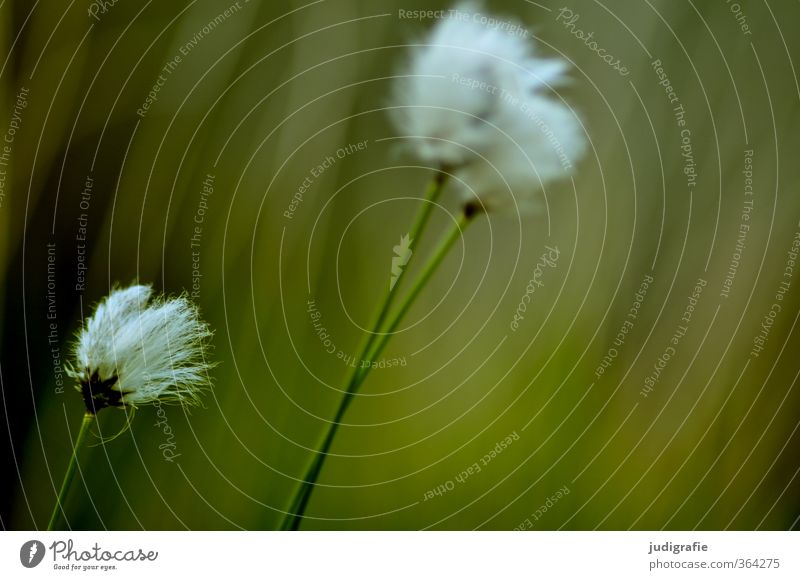 Nature Green Plant Environment Meadow Grass Natural Wild Growth Soft Transience Cuddly Wild plant Cotton grass