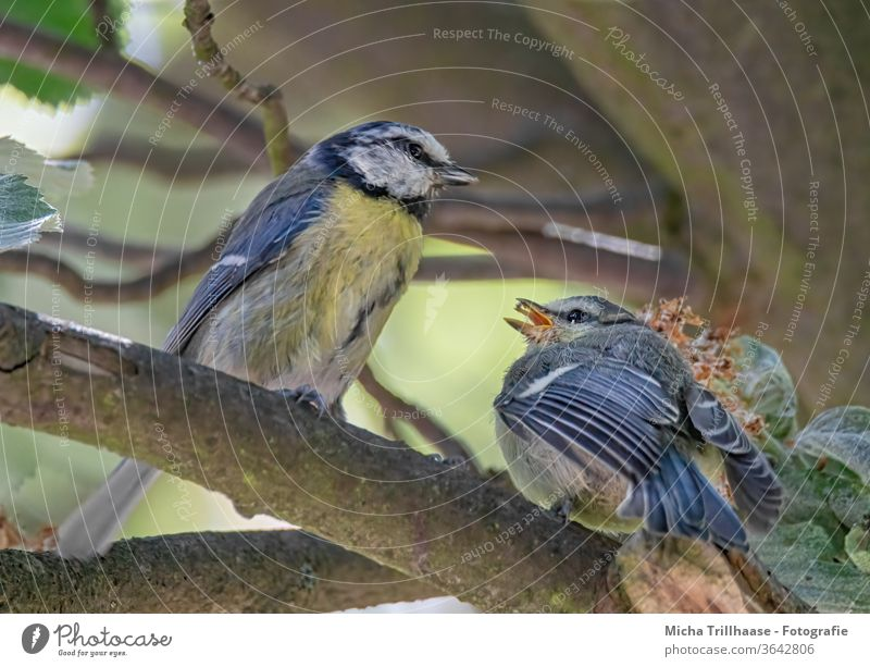 Blue tits feeding their young Tit mouse Cyanistes caeruleus Animal face birds Head Beak Eyes Feather Plumed Grand piano Claw Wild animal Twigs and branches tree