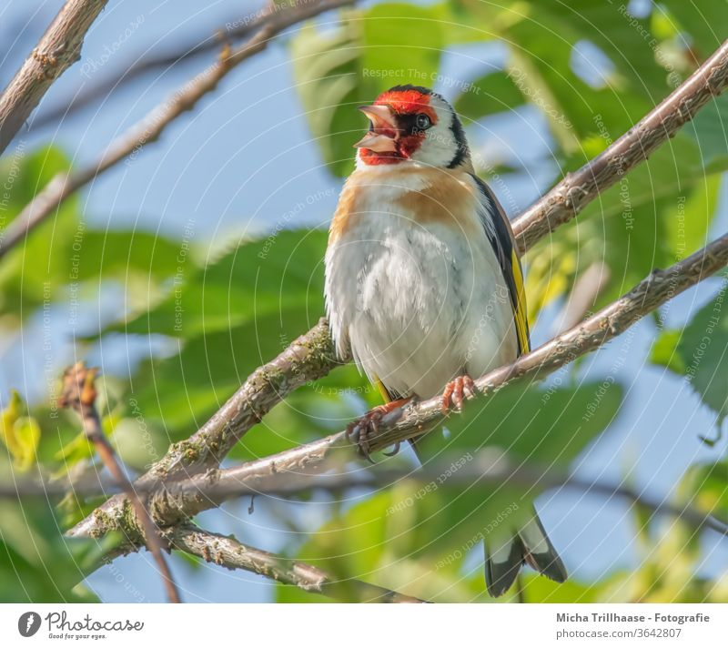 Singing goldfinch in a tree Carduelis carduelis Finches birds Wild bird Animal face Head Beak Eyes feathers plumage Grand piano Legs Claw Song tweet hum