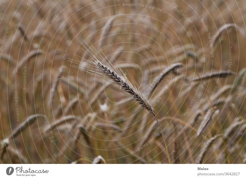 Golden ears of rye growing in the field wheat crop grain landscape seed sun golden sunny bread plant agriculture harvest cereal farm growth nature rural stem