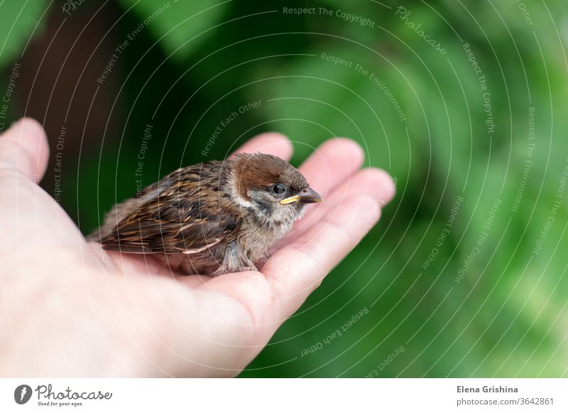 Little chick is sitting on the palm of his hand. bird day sparrow small bird in hand wildlife young little beak feather nature baby brown closeup wing nestling