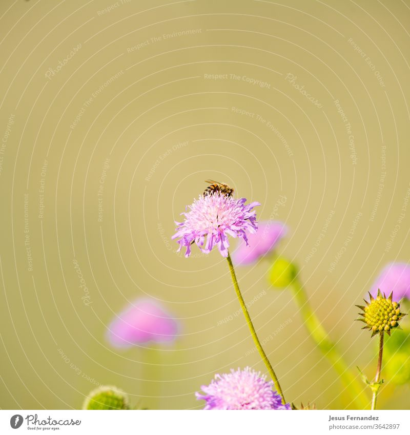Honey bee pollinating flower purple colored flower animal apiary apis mellifera beautiful beauty blue botanic close up close-up closeup damselflies distribute