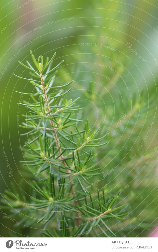 Branch of pine young shoots Jawbone Twig pine branch green Forest Garden Nature needles fir needles Instinct youthful