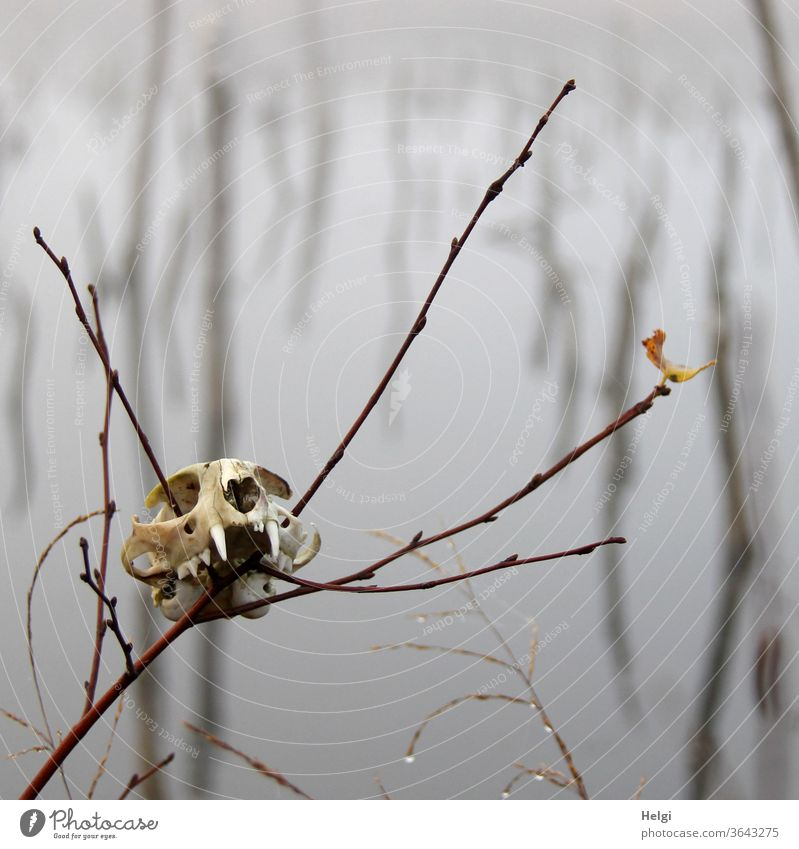 Lost property in the moor - skull of an animal stuck on a branch in the foggy moor Death's head cranial bone Animal skull Branch Bog moorland Mystic Fog