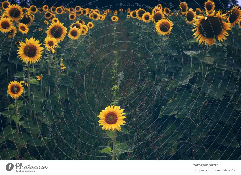 a small sunflower in the middle of large lined up sunflowers Sunflower Sunflower field small and big Sunflower family Summerflowerbed centred Family Growth