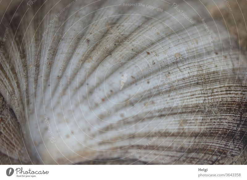 Scallop pattern - shell of a scallop Mussel Pilgrim mussel Mussel shell Pattern structure Close-up Detail Nature Macro (Extreme close-up) Subdued colour Gray