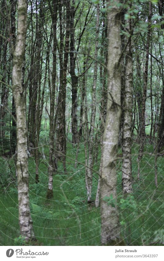 enchanted birch forest in the Black Moor Birch tree Birch wood birches green Grass Fern leaf ferns Gray Nature Nature reserve Forest forest soils Glade Bright