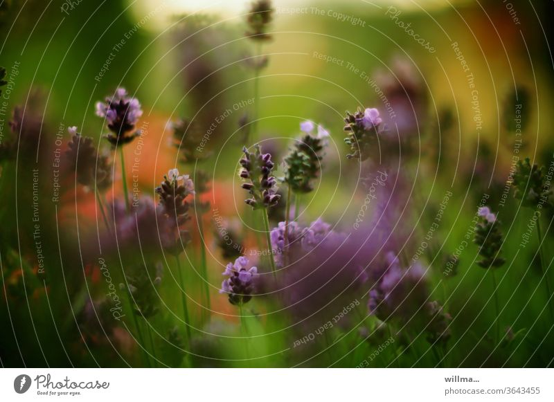 Lavandula angustifolia Lavender Blossoming Medicinal plant flowers Violet Fragrance Plant Flower meadow bleed Nature Summer Shallow depth of field