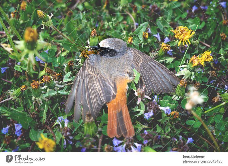 Dead redstart in a flower meadow, Austria robin nature wildlife dead death natural lifeless feathers grass bird end animal sad green body little lying one