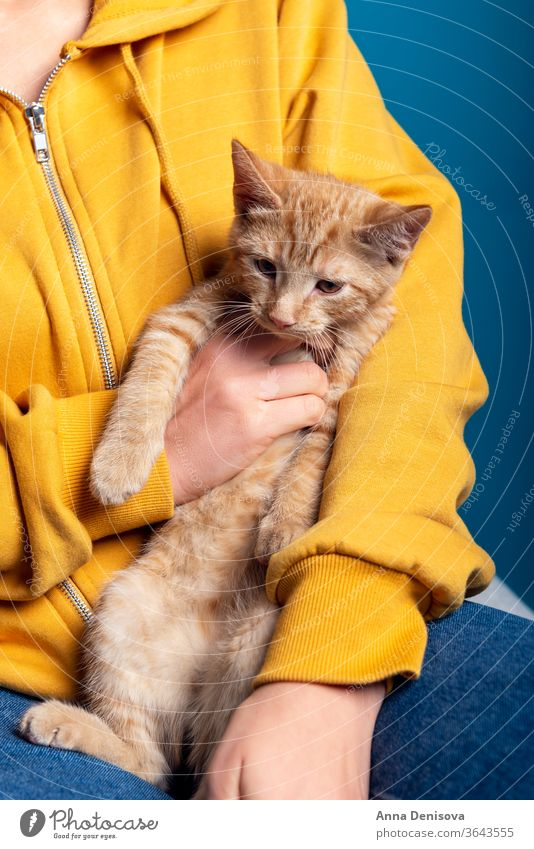 Cute ginger kitten sits on hands cute cat relax owner woman holding pet baby manx tailless no tail bobtail home cozy comfort resting fluffy sleeping kitty