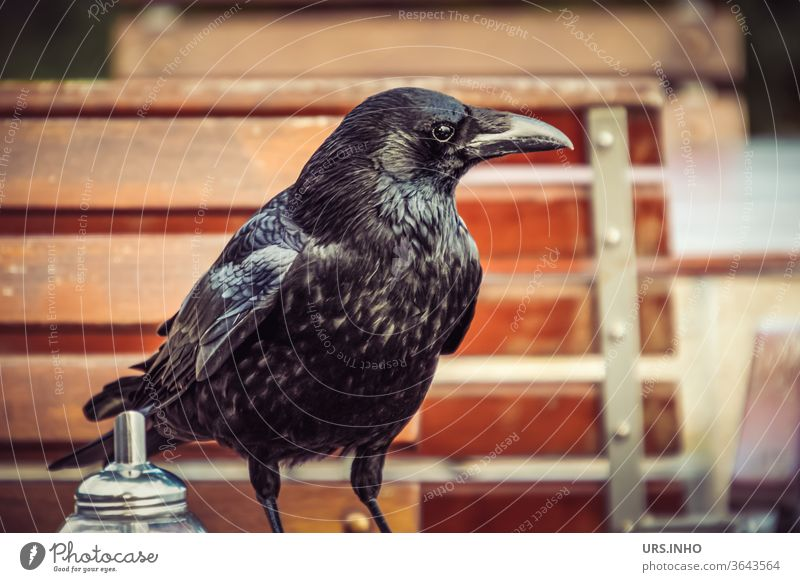 A raven crow at the coffee klatsch in the garden cafe Crow birds Raven birds Black feathered corvus mellori Little Raven search inquisitive Looking Animal Beak