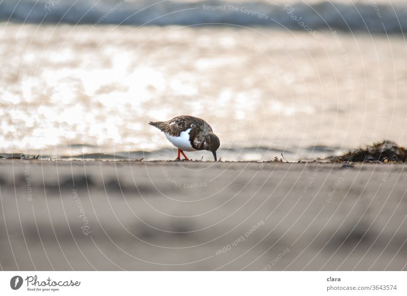 Turnstones on the beach Ruddy Turnstone birds Beach Ocean baltrum Coast Sand North Sea Lake
