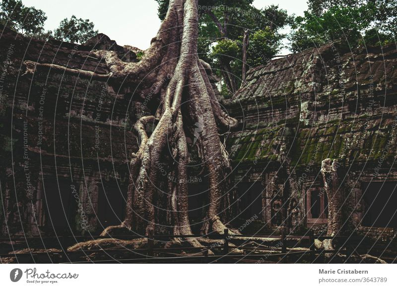 Banyan tree in the famous Ta Prohm in Angkor Archaeological Park, Krong Siem Reap Cambodia angkor archaeological park ta prohm temple siem reap cambodia