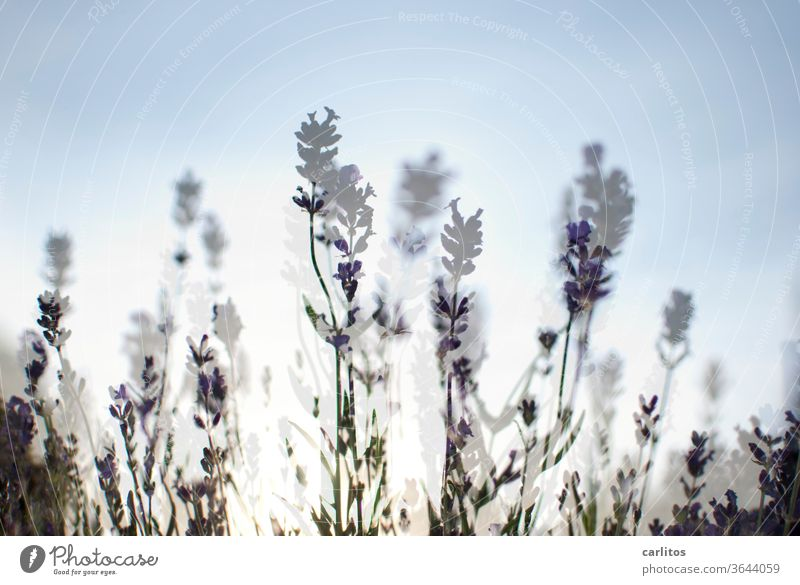 Waiter, a double lavender please. Double exposure Lavender Ease Violet Plant Fragrance Summer bleed flowers Nature Shallow depth of field Blossoming green