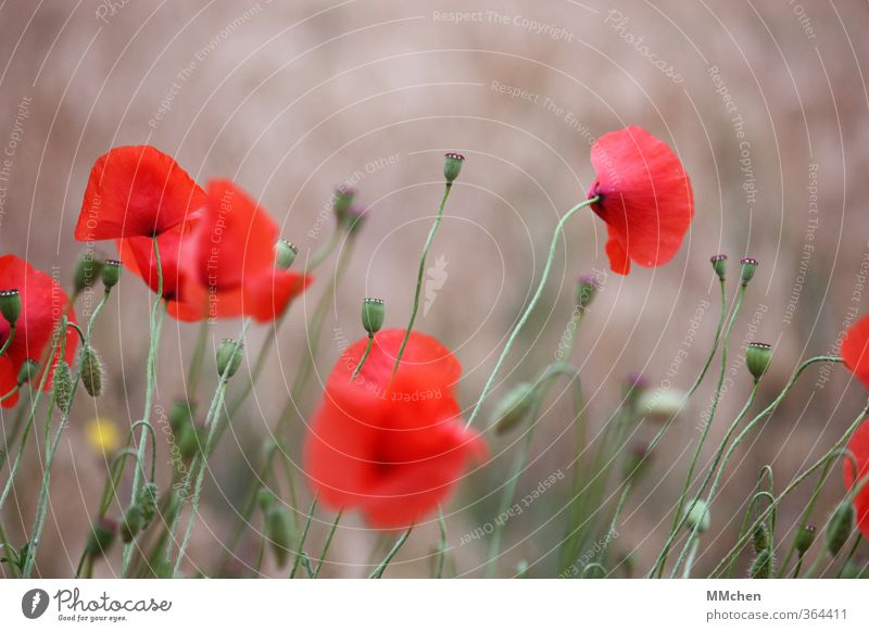 Days long gone Nature Summer Poppy Blossom Blossoming Garden Meadow Field Stand Growth Red Optimism Power Serene Patient Hope Faded Stalk Gray Colour photo