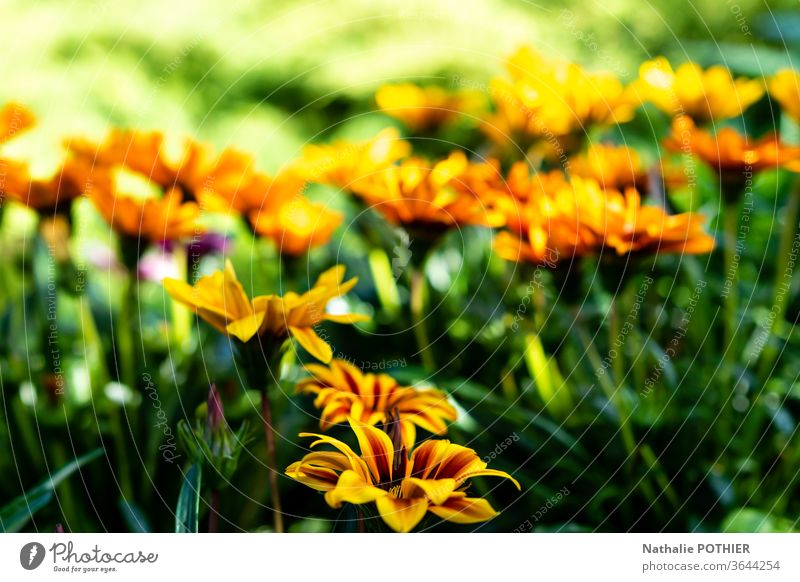 Orange and yellow flowers in the garden Flower orange Green Nature Blossoming Colour photo Garden spring Exterior shot green Spring Spring flower Close-up