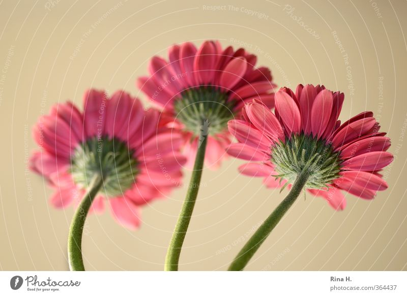 rear view Flower Blossoming Fresh Bright Pink Red 3 Gerbera Stalk Colour photo Deserted Copy Space top Shallow depth of field