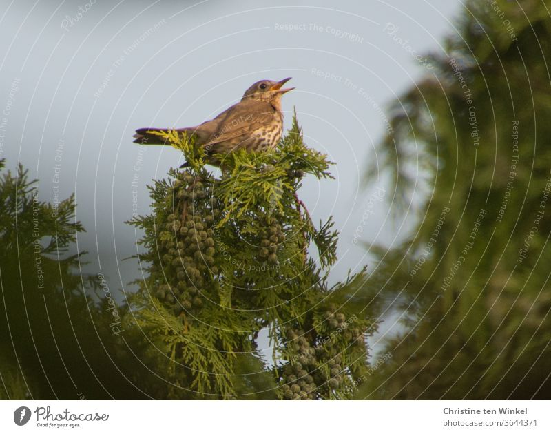 Song thrush (Turdus philomelos) sits high up in a garden cypress and sings Song Thrush birds songbird Sing Garden Garden Cypress Brown green tree Plant Nature