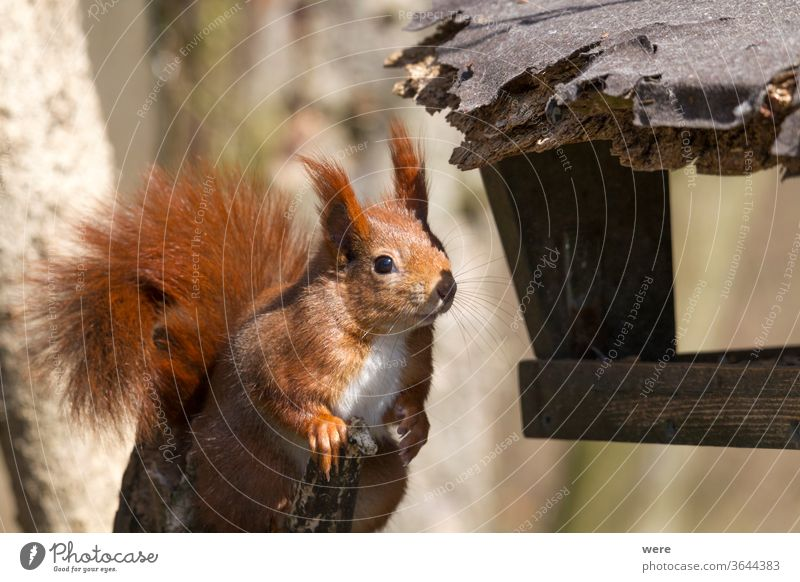 European brown squirrel in winter coat at the feeding house background sciurus vulgaris Animal Branch Subsidiaries Copy Space Cuddly cuddly soft Cute