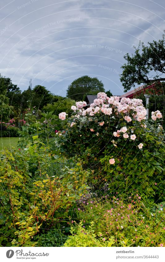Roses in the garden pink Evening Rose blossom lightning bolt flash flowers bleed conceit Relaxation holidays Garden Blossom leave allotment Garden allotments