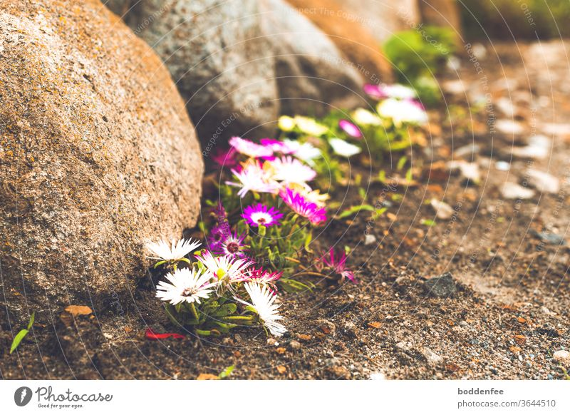 Ice flowers on field stones Livingstone daisy boulders Deserted Exterior shot Colour photo Blue Red White purple flowers bleed Blossoming