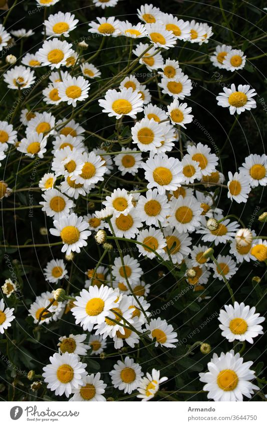 Margaritas in groups at sunset flower daisy nature summer white orchard factory yellow spring campa green flora camomile bloom dehesa beauty lawn beautiful