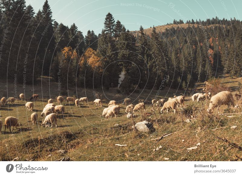 grazing flock of sheep ecology European Evening Outdoors idyllically Valley Peaceful Freedom Landscape Environment already Field Meadow view Agriculture