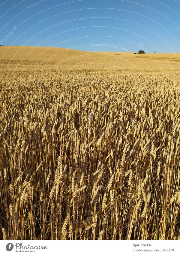 Scenic View Of Agricultural Field Against Clear Blue Sky Landscape Wheat Clear sky Rural Scene Copy Space Summer sunny Horizon no people country