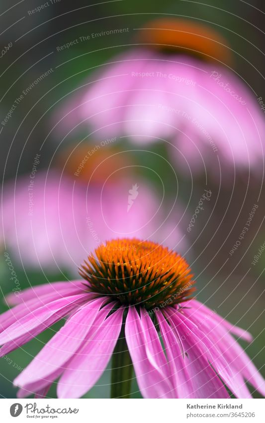Coneflower Closeup echinacea coneflower purpurea purple pink Green Natural Nature wildflower Flower Garden Gardening perennial Plant closeup macro Bloom medical