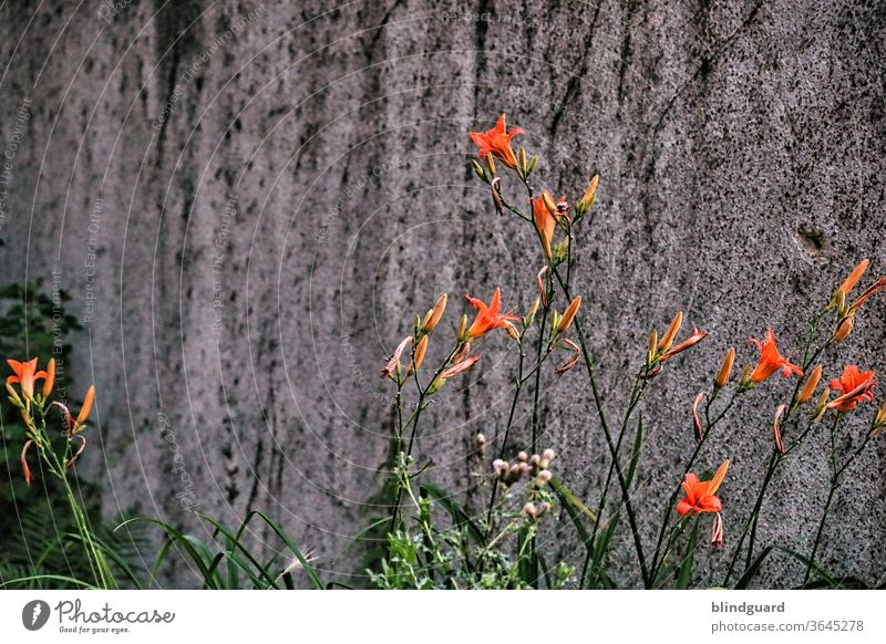 Orange lilies in front of a dreary wall. Lilium bulbiferum in front of artificial stone Lily Lily plants Lily blossom lily Gray Concrete Wall (building)