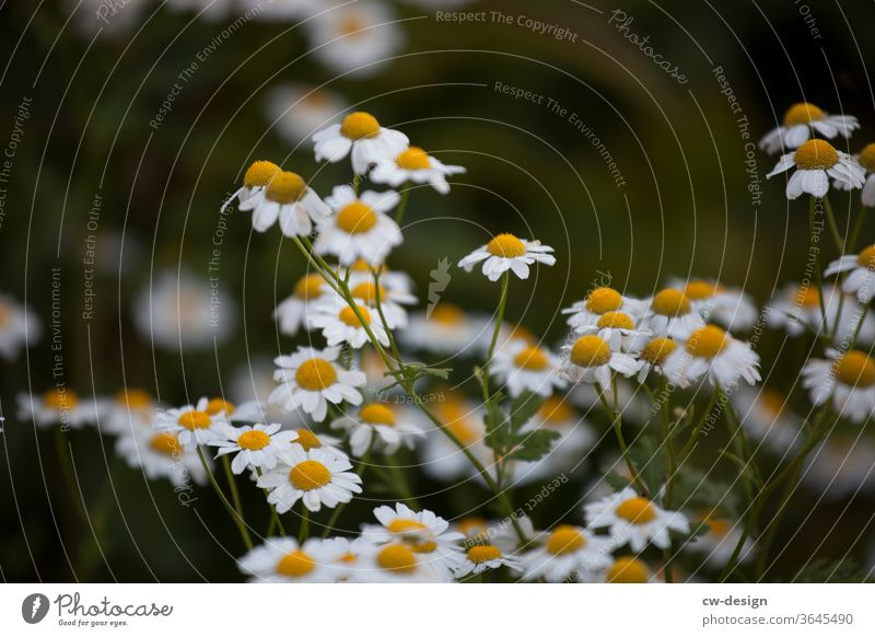 Camomile in the garden Daisy flowers Summer spring White Blossom leave Nature Plant Floral background Garden Daisy Family Fresh bleed romantic already Yellow