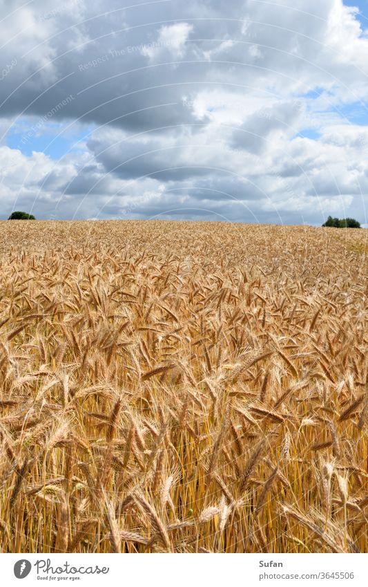 cornfield Grain field Field Barleyfield Summer Summer's day Sky cloud landscape Yellow Slate blue horizon line Harvest grains Ear of corn Straw Sunlight