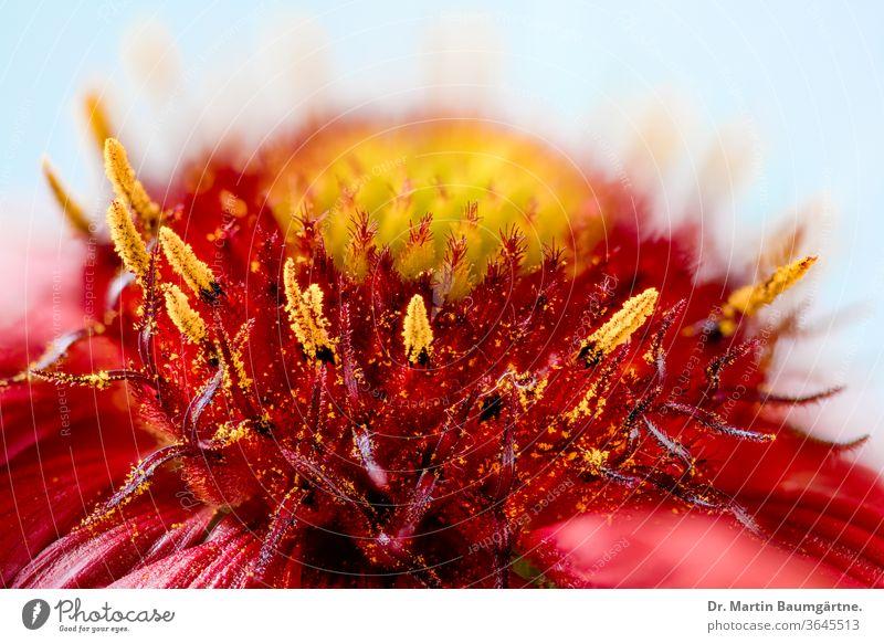 Gaillardia aristata, ceiling flower, centre of a flower head cultivar center North American wild flower asteraceae Composite materials Sunflower Family