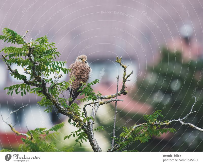 Kestrel on prey hunt birds Animal Falcon Exterior shot Nature Colour photo Day natural Bird of prey Feather Hunting Beak Ornithology Pride Brown Observe Eyes