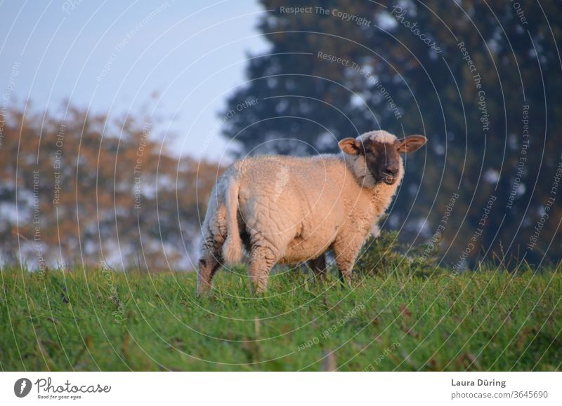 Sheep on meadow in the evening sun Cute Longing Moody Ambience natural light tranquillity Outdoors Calm be Independence moment Snapshot instant Break Light