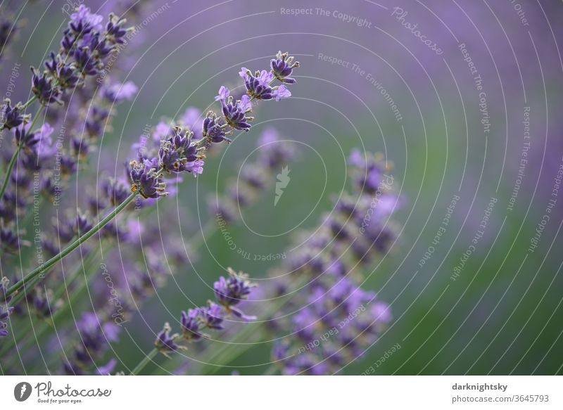 Lavender blossom with calm background Macro (Extreme close-up) Agricultural crop natural spring Deserted Comforting Blur Shallow depth of field Environment