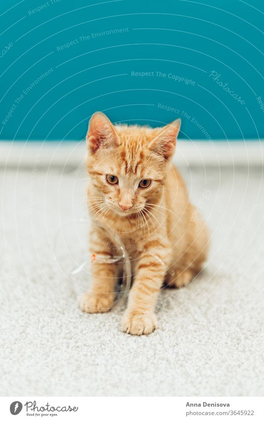 Cute ginger kitten sits cute cat relax blanket pet baby home cozy comfort resting fluffy sleeping kitty adorable child tiger little animal warm joy kittens pets