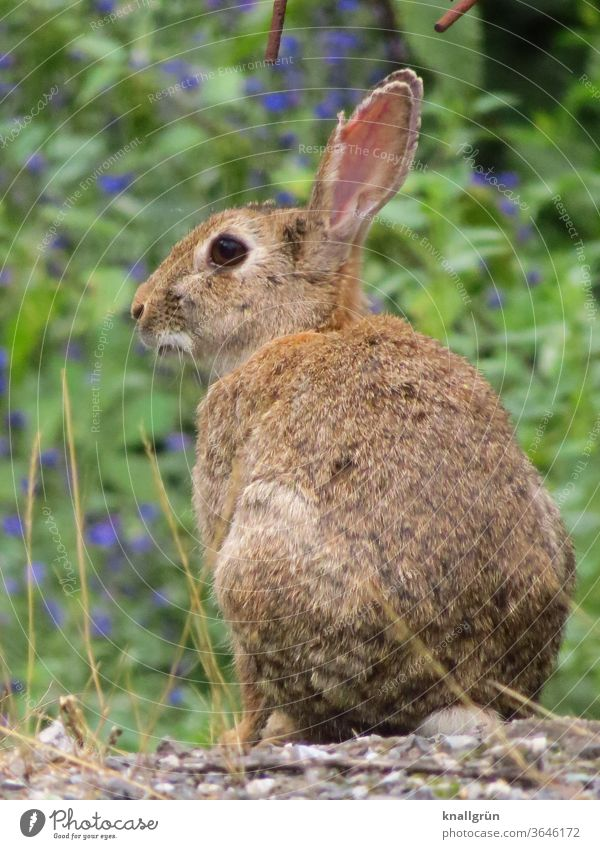 Close up of a wild rabbit, looking to the side Hare & Rabbit & Bunny Wild animal Animal portrait 1 Exterior shot Cute Pelt Ear Nature Animal face Cuddly